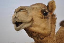 camel-05